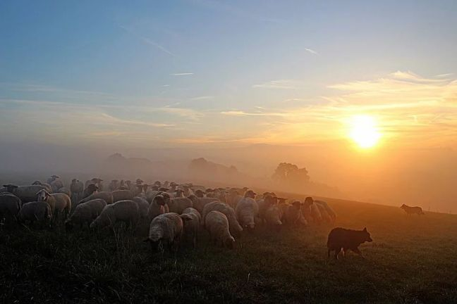 flock-of-sheep-2252296_960_720
